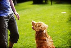 A man is teaching and training a dog outdoor in the park. Another dog is watching close by. The dog breed is nova scotia duck tolling retriever also known as a toller. Image has a vintage effect.