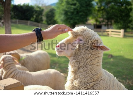 a man is touching a sheep #1411416557