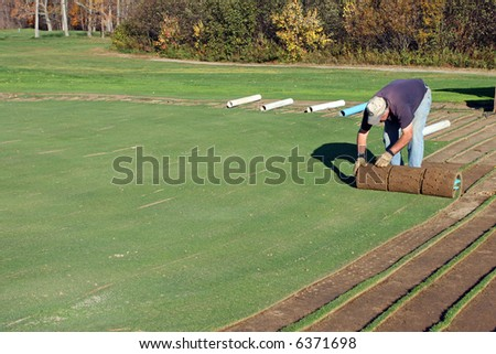 A man rolling turf grass sod on putting green