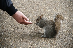 a man's hand holds a nut and feeds a beautiful squirrel on the road