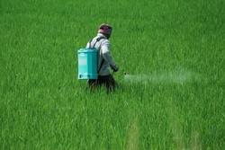 A man spraying insecticides manually by hand on a agriculture green field full of green new corp plants in a sunny daylight