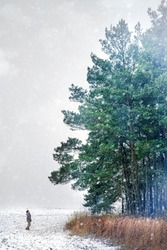 A man stands in a snowy field in front of a large green pine trees and looking up during a snowfall on a winter afternoon