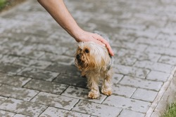 A man strokes a dirty, small, abandoned Yorkshire terrier dog with his hand. Photo of a pet.