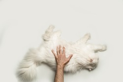 A man stroking a big fluffy white cat. View from above. Light background