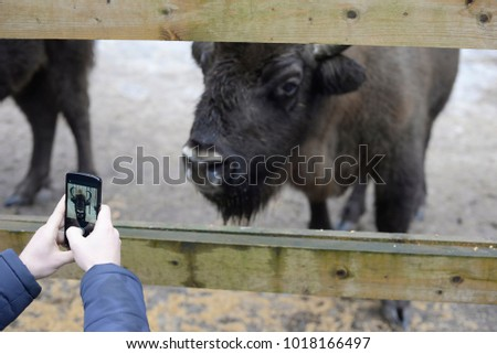 A man takes a picture of a bison on a telephone