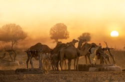 a man with camels in desert in sunset light,culture and life style of people in desert