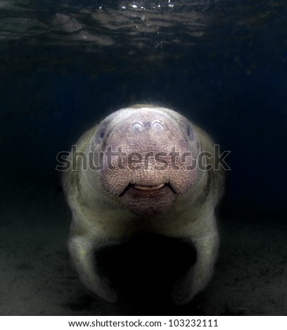 A manatee smiling for the camera