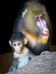 A mandrill monkey (Mandrillus sphinx) mother with child