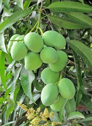 A mango tree with full of fruits