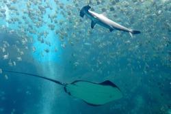 A manta ray gliding under a ferocious hammerhead shark which swims among its prey, a shoal of silver moonyfish (or diamondfish), in a huge aquarium of Xpark in Landmark Plaza, Zhongli, Taoyuan, Taiwan