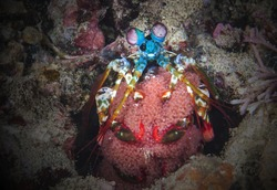 A mantis shrimp with egg lives on a coral reef in the Philippines.