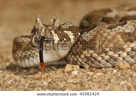 A many-horned adder flicking its tongue.