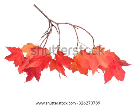 a maple leaf branch isolated on white background #326270789
