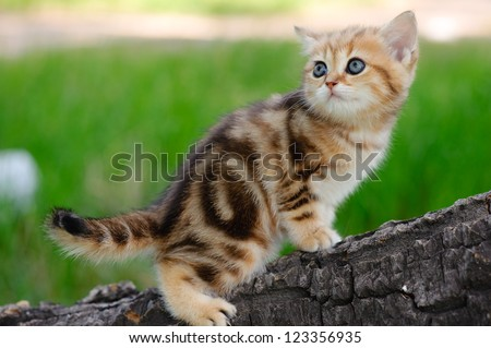 A marble british cat walking outdoors
