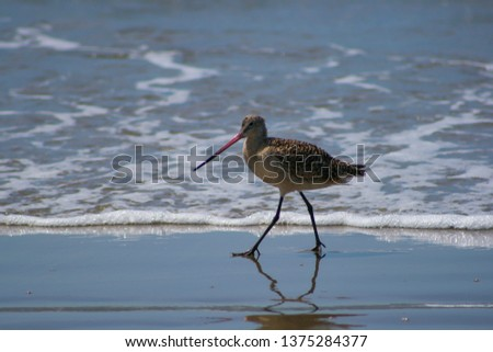A marbled godwit (Limosa fedoa), a large shore bird, walks along in the surf on the beach.