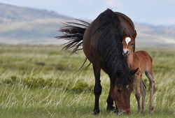 A mare with a little foal in boundless Kazakhstan steppes.