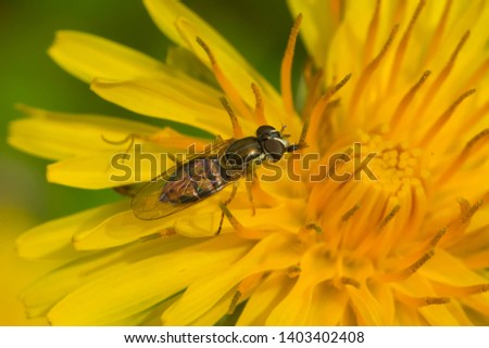 A Margined Calligrapher is collecting nectar from a yellow dandelion flower. Rosetta McClain Gardens, Toronto, Ontario, Canada. #1403402408