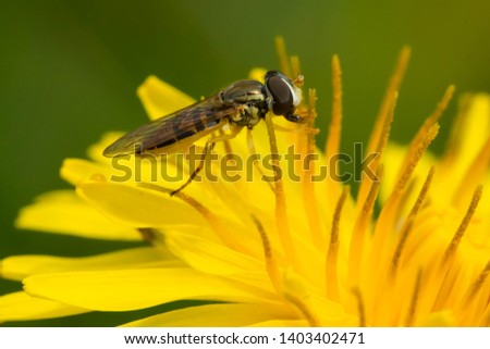 A Margined Calligrapher is collecting nectar from a yellow dandelion flower. Rosetta McClain Gardens, Toronto, Ontario, Canada. #1403402471