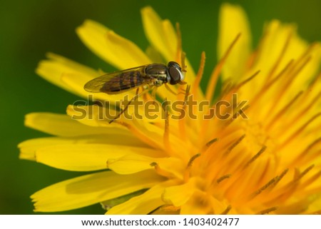 A Margined Calligrapher is collecting nectar from a yellow dandelion flower. Rosetta McClain Gardens, Toronto, Ontario, Canada. #1403402477