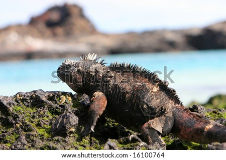 A marine iguana looks out over the blue waters from the volcanic rocks of the Galapagos islands