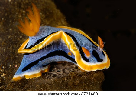 A marine snail known as a nudibranch crawls across a reef.  Their vibrant colors are a visual warning to other animals that they sting like jellyfish.