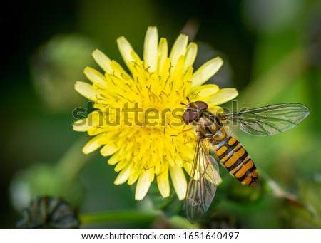 A marmalade hoverfly (Episyrphus balteatus) seen in June Stockfoto ©