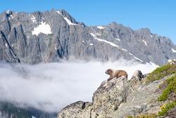 A Marmot and Johannesburg Mountain on the Cascade Pass  Sahale Arm Trail. North Cascades National Park, Washington