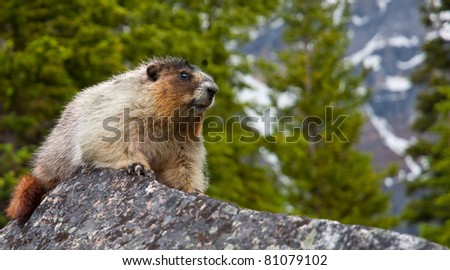 A marmot in Banff National Park, Alberta, Canada rests on a rock.