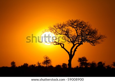 A marula tree silhouette at sunset