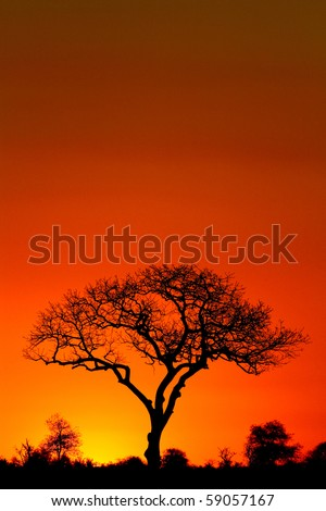 A marula tree silhouette at sunset - stock photo