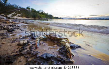 A Maryland Blue Crab resting on the beach in foreground at sunset on the Chesapeake Bay in Maryland