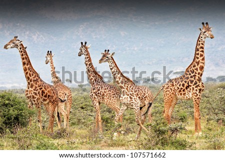 A Masai Giraffe (Giraffa camelopardalis tippelskirchi) is illegally shot in Kenya, Africa. The giraffe second from right can be seen instantly collapsing from a bullet to the heart (wound is visible).