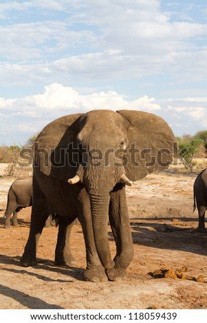 A massive African elephant bull looking at the camera