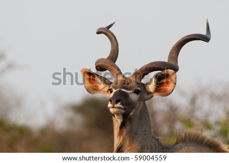 A massive kudu bull with huge horns
