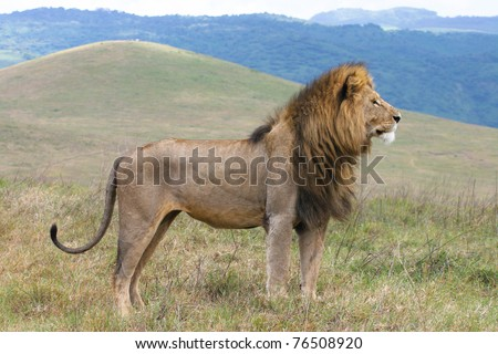 A massive male lion in the Ngorongoro Crater