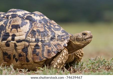 A massive old leopard tortoise in Lake Manyara National Park