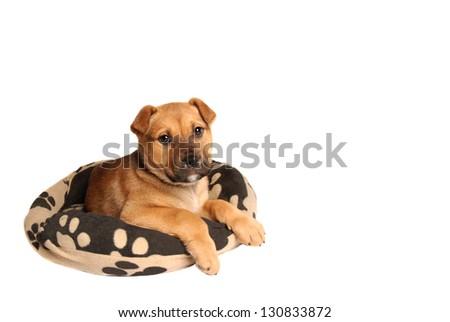 A mastiff puppy lying on a dog bed #130833872