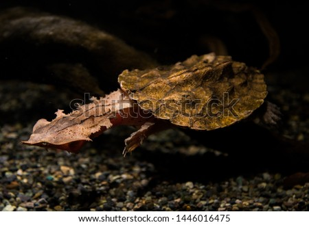 A mata mata turtle in aquarium Zdjęcia stock ©