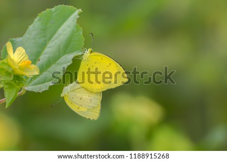 A mating pair of common grass yellow (Eurema hecabe) Butterfly on green leaves, facing in opposite directions with their abdomens attached, West Bengal, India #1188915268