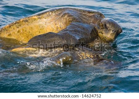 A mating pair of Pacific Green Sea Turtles (Chelonia mydas). Endangered. Urvina Bay, Isabela Island, Galapagos, Ecuador.