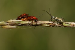 A mating pair of Red Soldier Beetle (Rhagonycha fulva) being watched by a meadow plant Bug (Leptopterna dolabrata).