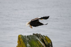A mature adult American bald eagle pitches on a rock. The eagle's wings are up and expanded as it gets ready to land. The eagle's beak and talons are down preparing to catch a fish or land on a rock.