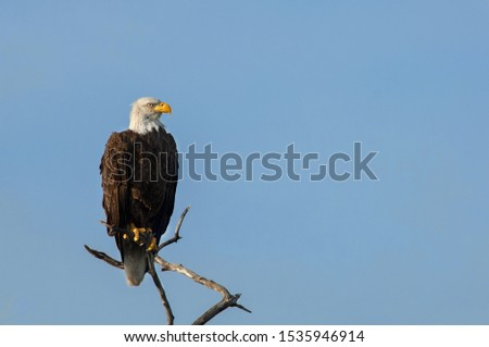 A mature bald eagle perched on a branch at Wiggins Pass, Naples, Florida against a clear, blue sky.