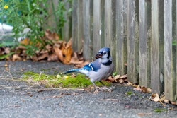 A mature blue jay with royal blue, navy blue and white feathers. The animal has a nut in its beak as it peers behind. The small bird is standing on the ground near a wooden fence.
