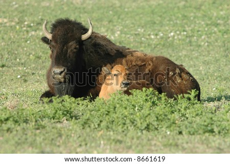 A mature female bison resting with her calf in the high plains.