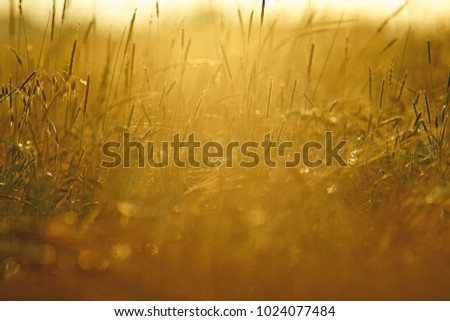 A mature field of barley and meadow grass swaying in a gentle summer breeze at sunset, selective focus and diffused background, The Cotswolds, Gloucestershire, UK