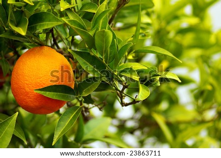 A mature orange in the tree. - stock photo