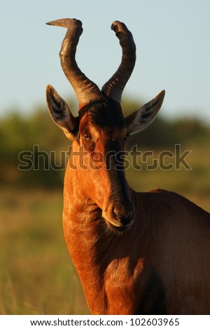 A mature red hartebeest bull showing off his thick twisted horn structure in this portrait from eastern cape,south africa