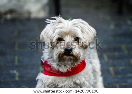 A Mature yorkie wearing a red color outdoors.  A loved family pet for many years in a loving environment and a beautiful home and outdoor space.
