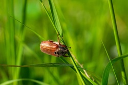 A May beetle climbing on a blade of grass.Melolontha genus beetle